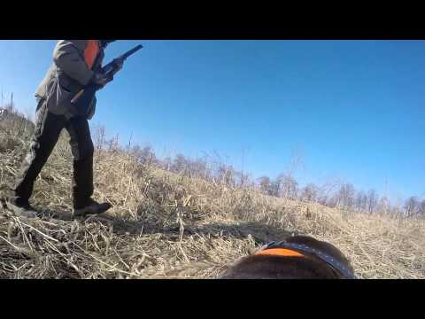 German Shorthaired Pointer finds a pheasant with the GoPro on