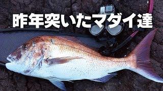 [下北半島魚突きVol.9] 2017年マダイ総集編  Red seabream  | Polespear fishing Shimokita Aomori JAPAN
