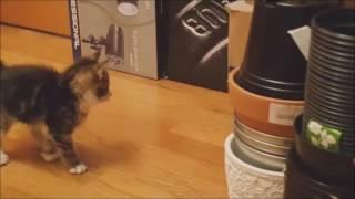 Играющие котята 1 и 1,5 месяца