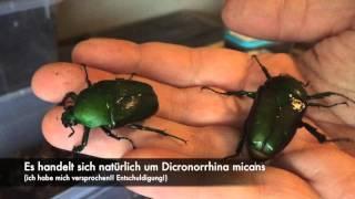 Dicronorrhina micans - 2 Females (big/small)