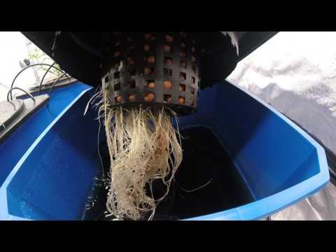 Deep Water Culture Cannabis: Gelato #33, 12 days veg