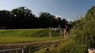 Żyrafy na wybiegu. Zoo, Opole.