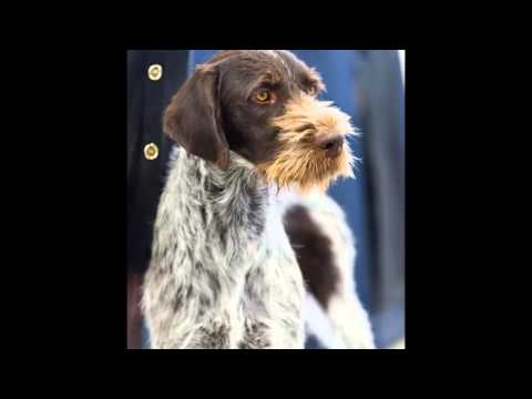 beautiful pictures German Wirehaired Pointer breeds of dogs