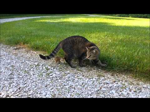 Cat Attacked by Dinner, Chipmunk