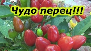 МОЯ СУПЕР КОЛЛЕКЦИЯ-ДЕКОРАТИВНЫЙ ГОРЬКИЙ ПЕРЕЦ.