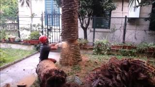 06 61597559 Abbattimento Palme morte da Punteruolo Rosso Roma