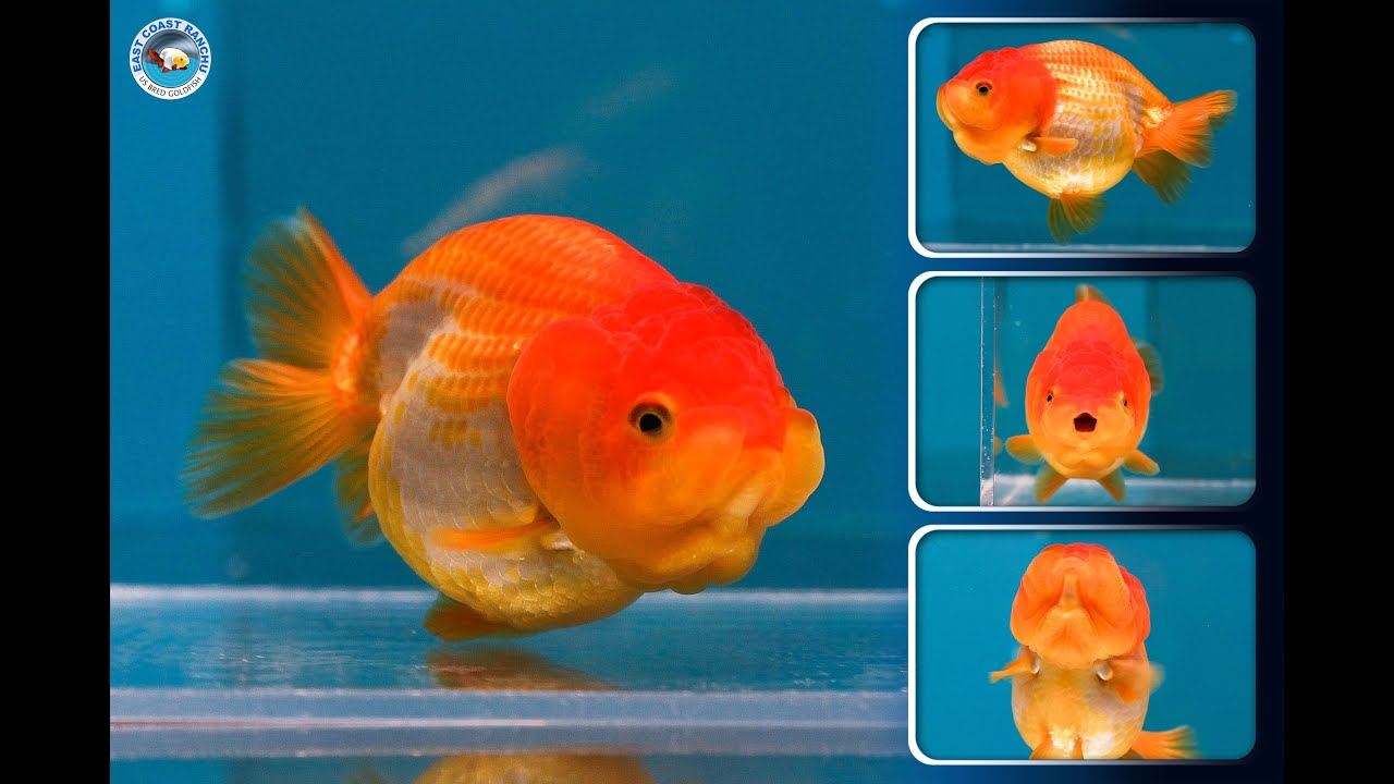 Sold ranchu goldfish for sale fb585 fb588 youtube for Gold fish for sale
