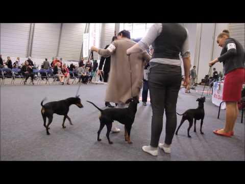 Manchester Terriers Ladies Club April Show 22.4.2017
