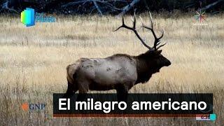 El milagro americano: el bisonte y los bosques de frondosas en EU - Despierta con Loret
