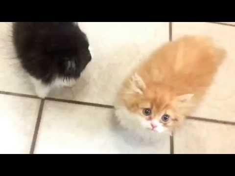 PERSIAN KITTENS MEOWING FOR FOOD