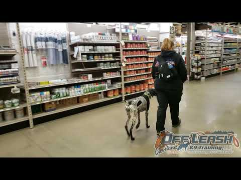 Elsa | 8 month old German Shorthaired Pointer| Off Leash Obedience | E-Collar Training