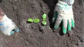 Transplanting Zucchini and Yellow squash from peat pots