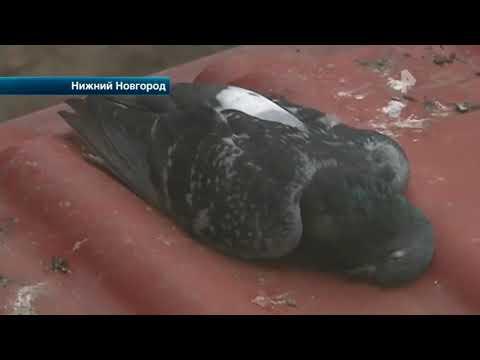 Вопрос: Зачем в Москве травят голубей?