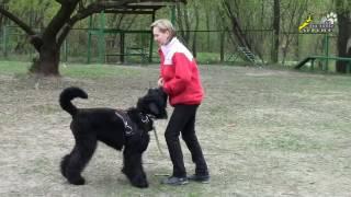 Чёрный русский терьер, собака для танцев