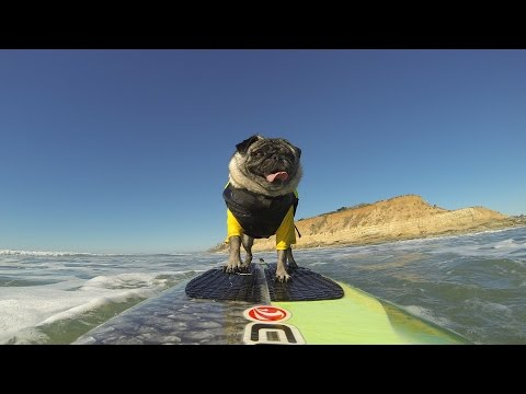 Surf Dog Hall of Fame Entry | Brandy The Pug