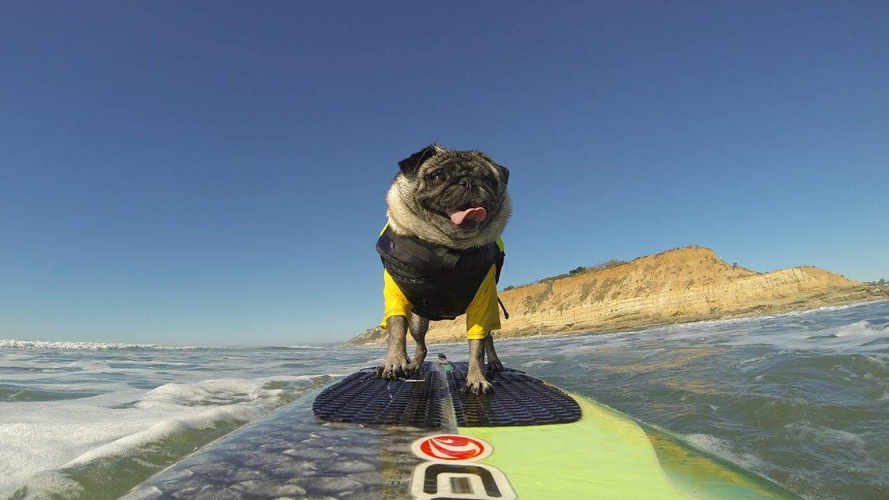 Surf Dog Hall Of Fame Entry Brandy The Pug YouTube - Brandy the award winning surfing pug