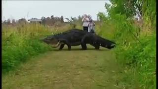 BIGGEST CROCODILE IN THE WORLD SPOTTED