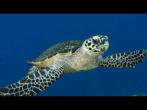 Interesting Facts about Hawksbill Turtles