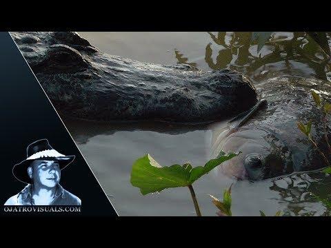 Alligator Eats Fish 02 Footage