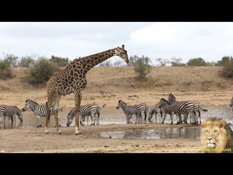 Giraffe and Zebra and Wildebeest - Amazing & Beautiful Interaction