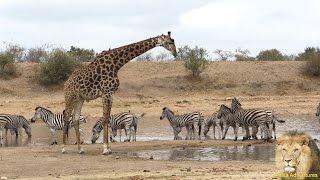 Giraffe vs Zebra vs Wildebeest - Amazing & Beautiful Interaction