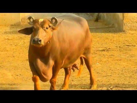 worlds Beautiful Buffalo || Banni Buffalo || Kundhi Buffalo || Sindhan | Kutch Buffalo|Ahsan Bhurgri
