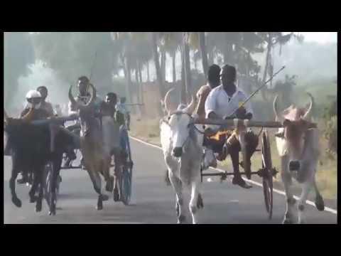 Rekla race Periyamadu  Chinnamanur at theni district 2018/01/21