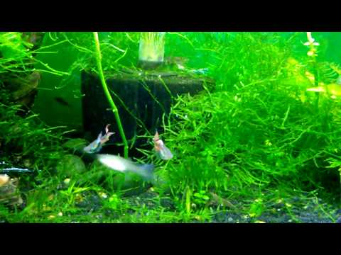 I Suspect My Amano Shrimp Might Be Fish Assassins