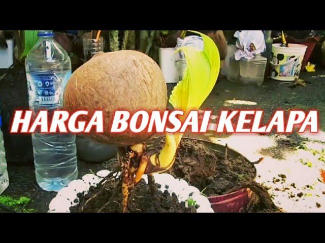 Harga Bonsai Kelapa Youtube