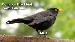 Blackbird - Common Blackbird Birdsong