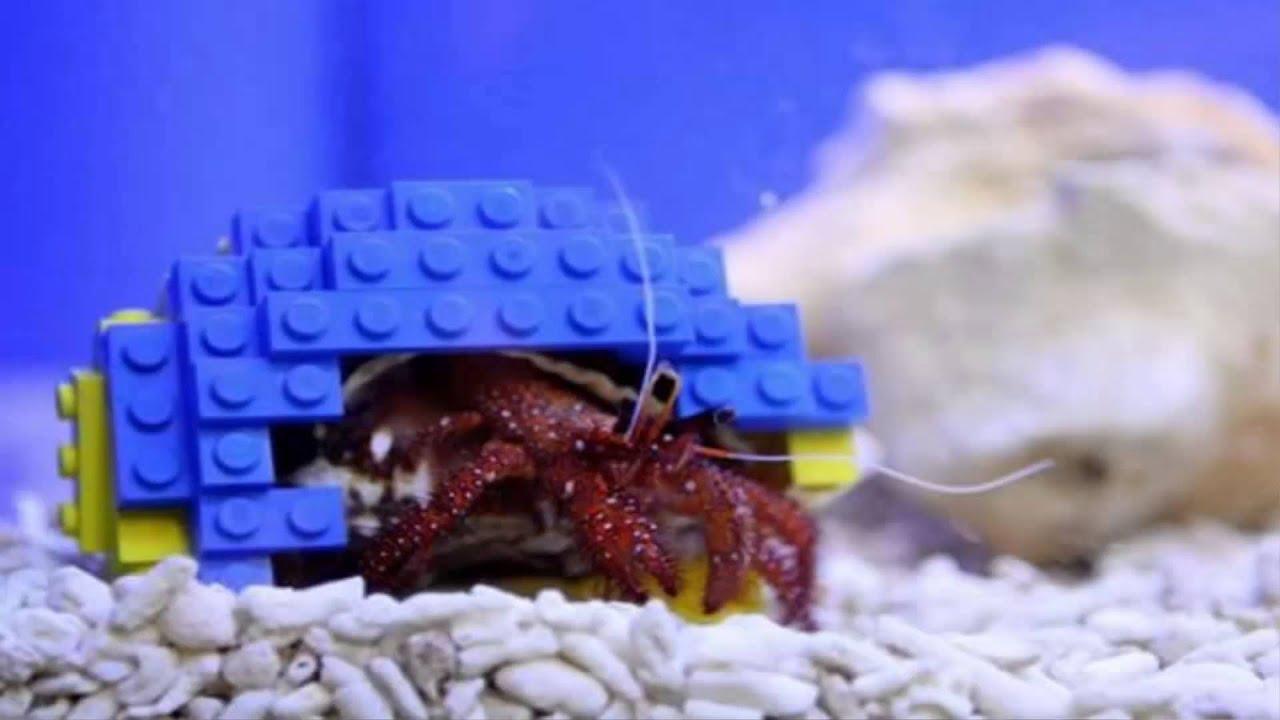 CONCHA DE LEGO PARA CANGREJO ERMITAÑO. Impresionantes fotos - YouTube