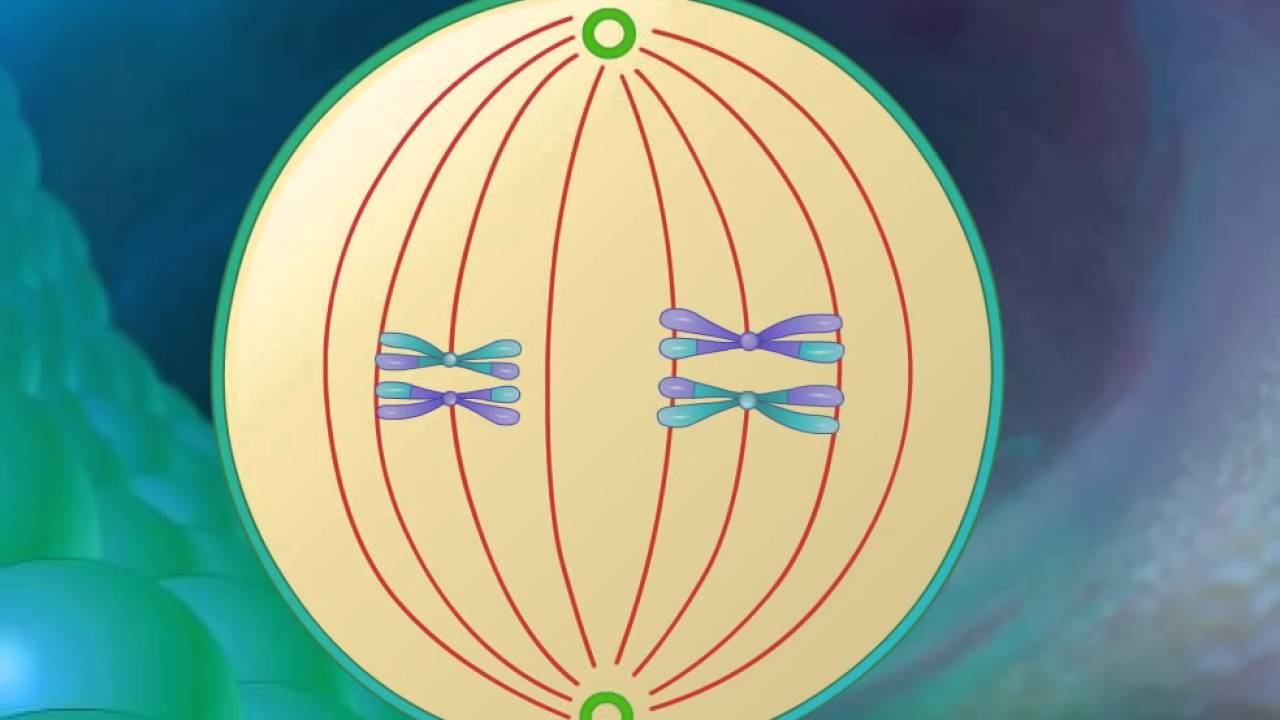 Stages Of Meiosis Hd Animation