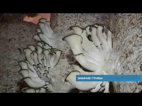 , мицелий грибов, мицелий вешенки, шампиньона, белого гриба