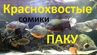 Краснохвостые сомы и паку в большом аквариуме