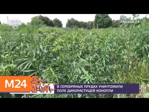 В Серебряных Прудах уничтожили поле дикорастущей конопли - Москва 24