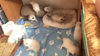 Litter C - ragdoll kittens