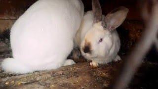 Спаривание кроликов.