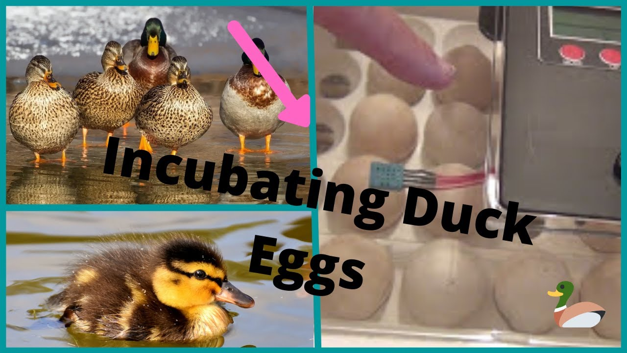 Incubating Duck Eggs From Flying Mallard Lost to Predator