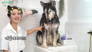 Dog Hair Cut Alaskan Malamute