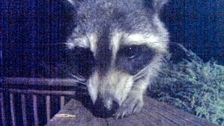 Video For Cats and Dogs to Watch -  Nocturnal Raccoon Close Up!