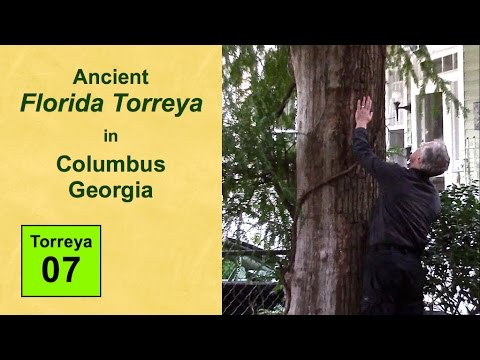 Ancient Florida Torreya in Columbus Georgia