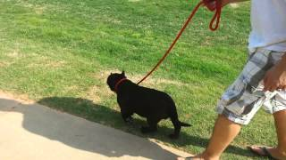 How To Teach Your Puppy To Walk On A Leash Part 2
