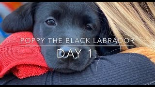 Poppy the Black Labrador - Puppy's first day at home - Day 1
