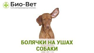 Болячки на ушах собаки. Ветеринарная клиника Био-Вет.