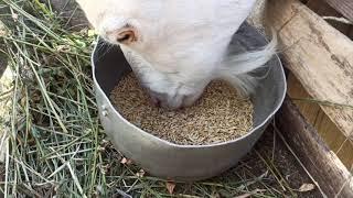 Будни козовода. Козы. Козлята. Дойка. Пробую на вкус козье молоко.