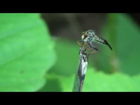 Robber Fly (Asilidae: Promachus) Hunting
