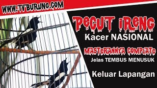 KACER Juara NASIONAL PECUT IRENG Masteran Complate Jelas Tembus Menusuk Keluar Lapangan
