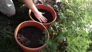Container Beet Planting -The Wisconsin Vegetable Gardener Straight to the Point