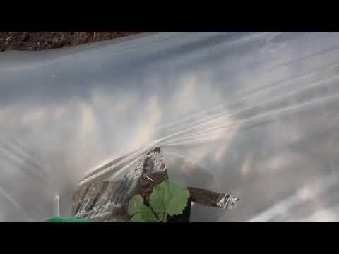 Выращивание арбузов и дынь в термосе и на мульче.