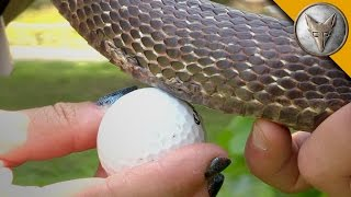 Snake Eats a Golf Ball!